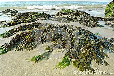 Green seaweed on a beach