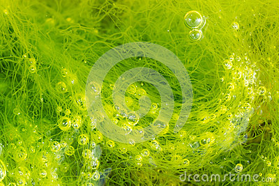 Green seaweed and bubbles