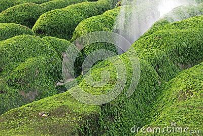Green seaweed rock.