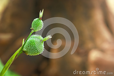Green seed of canna flower,canna lily.