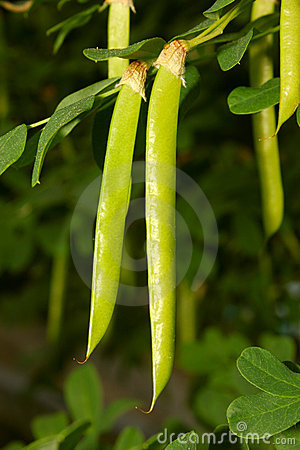 Green seed pods hanging from stem