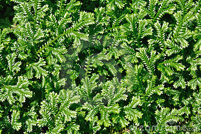 Green selaginella