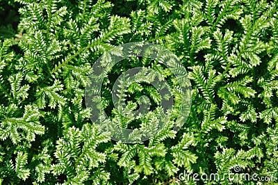Green selaginella
