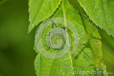 Green Shield Bug on leaf