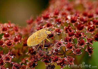 Green Shield Bug yellow morph
