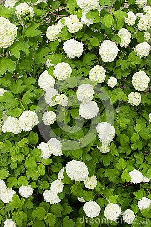 Green shrub with white flowers