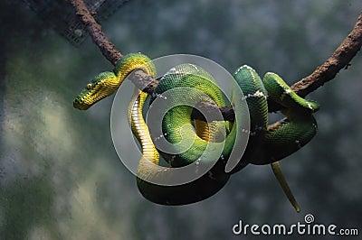 Green snake emerald tree boa