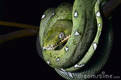 green snake coiled amazon jungle boa reptile