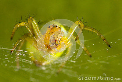 The green spider