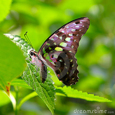 Green Spotted Butterfly