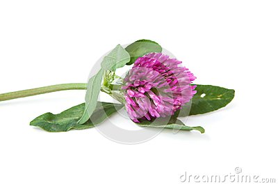 Green sprig of flowering clover
