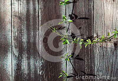 Green Sprig on Wood Fence Plank with Knots