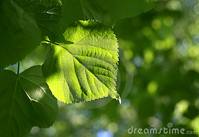 Green spring leaves glowing in sunlight