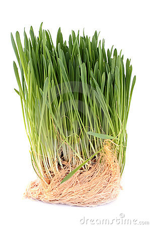 Green sprouted grass with roots