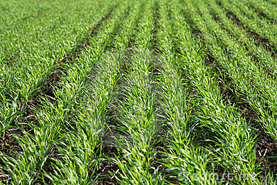 Green sprouts of young wheat