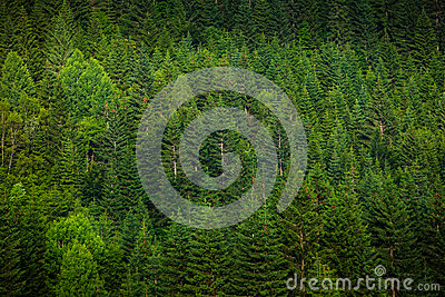 Green spruce forest