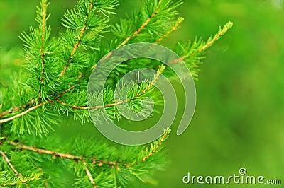 Green spruce tree