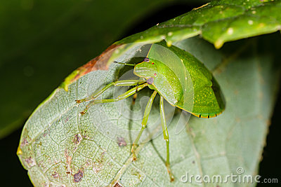 Green Stink bug with yellow stripe