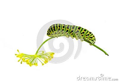 Green striped caterpillar
