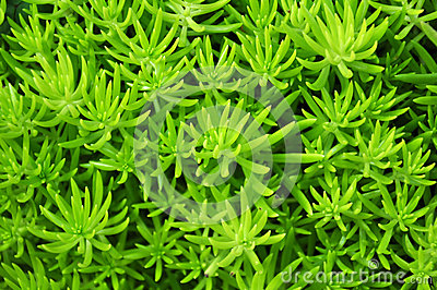Green succulent leaves