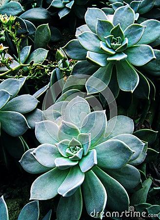 Succulent plant, flowers