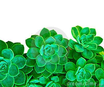 Green succulent plant on white