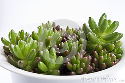 Green succulents