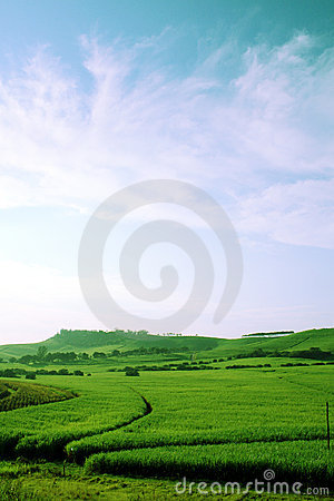 Green sugar cane field
