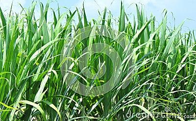 Green sugar cane fields