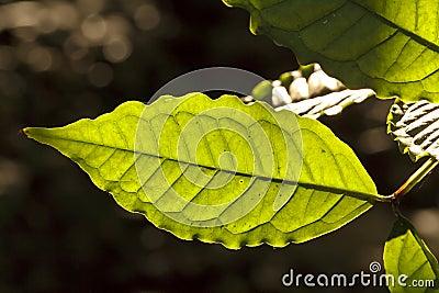 Green sunlit leaf