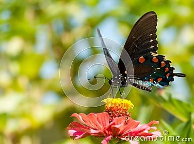 Green Swallowtail, Battus philenor butterfly