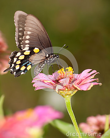 Green Swallowtail butterfly feeding on pink Zinnia