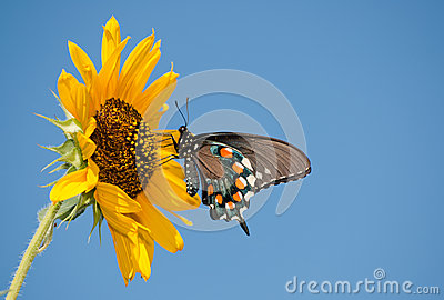 Green Swallowtail butterfly on wild Sunflower
