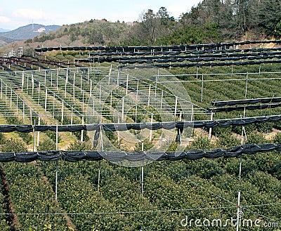 Green tea culture