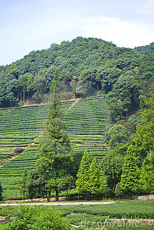 Free Green Tea Feilds, China Stock Photo - 4522050
