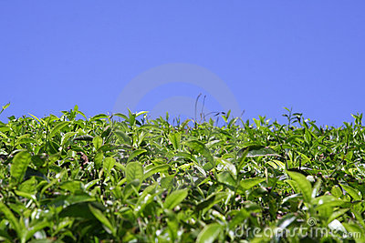Green tea plantation kerala