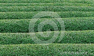 Green tea texture2