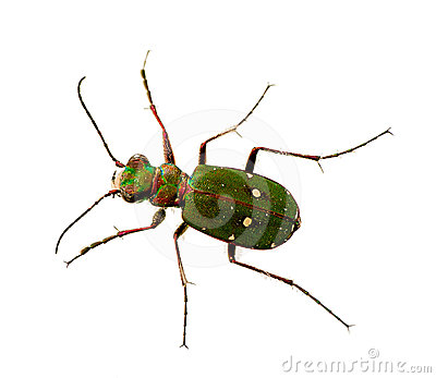 Green Tiger Beetle Cicindela campestris, macro