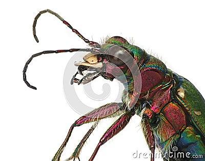 Green tiger beetle closeup