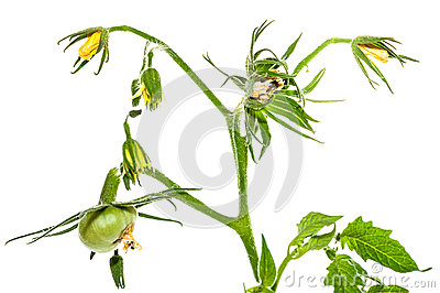 Green tomato fruit flower leaf