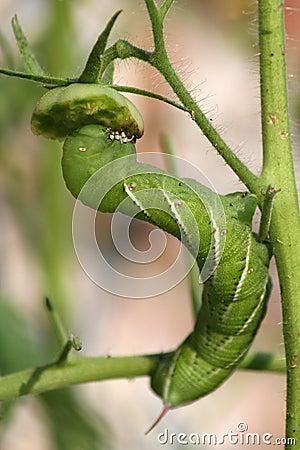 Free Green Tomato Hornworm Stock Photography - 3050002