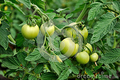 Green tomatoes in beds