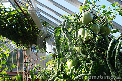 Green tomatoes grow on vines