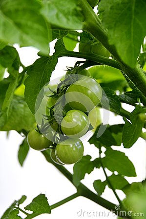 Green Tomatos on Vine