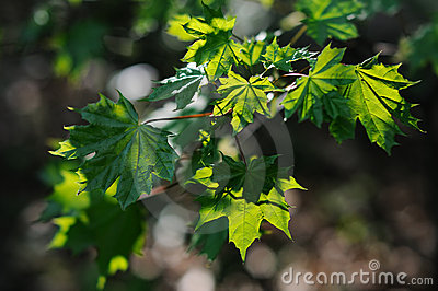 Green translucent maple leaves