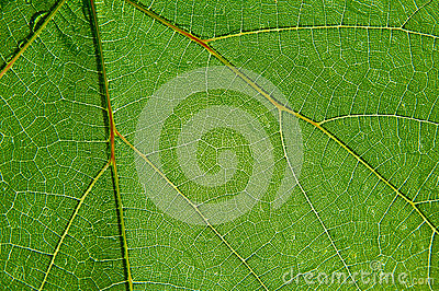Green transparent leaf