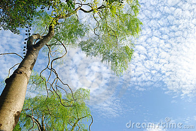 Green tree and azure sky