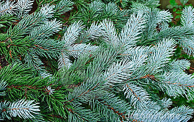 Green tree, fir tree, evergreen branches