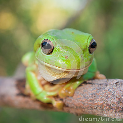 Free Green Tree Frog Royalty Free Stock Photos - 28855728