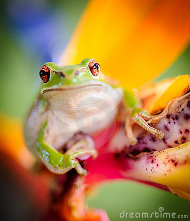 Green tree frog on bird of paradise flower 2 stock images image